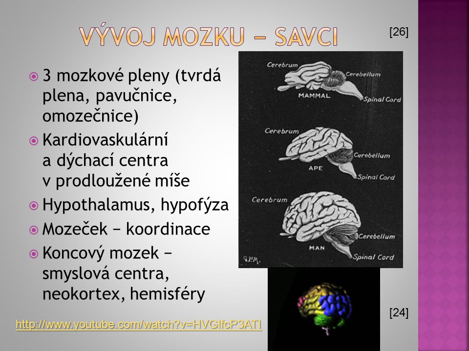 Vývoj mozku − savci [26] [24] 3 mozkové pleny (tvrdá plena, pavučnice, omozečnice) Kardiovaskulární a dýchací centra v prodloužené míše.